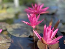 Des fleurs de lotus roses sont employées pour offrir des moines Ou utilisé pour décorer dans un vase photo libre de droits