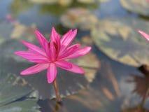Des fleurs de lotus roses sont employées pour offrir des moines Ou utilisé pour décorer dans un vase photographie stock libre de droits