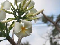 Des fleurs de Plumeria bourgeonnez et de floraison photo libre de droits