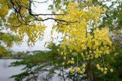 Des fleurs multipliez-vous ou de Ratchaphruek en Thaïlande photos libres de droits