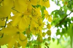 Des fleurs multipliez-vous ou de Ratchaphruek et x28 ; Dok Koon& x29 ; en Thaïlande habituellement photos libres de droits