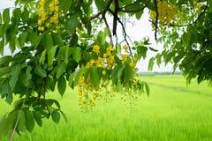 Des fleurs multipliez-vous ou de Ratchaphruek et x28 ; Dok Koon& x29 ; en Thaïlande habituellement photos stock