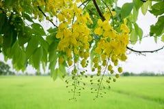 Des fleurs multipliez-vous ou de Ratchaphruek et x28 ; Dok Koon& x29 ; en Thaïlande habituellement images stock