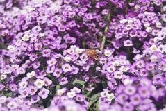 Des fleurs pourpres plus petites dans l'ensoleill? image stock