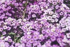 Des fleurs pourpres plus petites dans l'ensoleill? images libres de droits