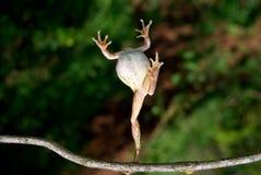 Des Frosches springen Stockbild