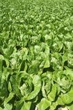 Des Gemüse-Feldes des Kohls grünes Ackerland im Frühjahr Lizenzfreie Stockbilder