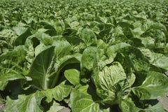 Des Gemüse-Feldes des Kohls grünes Ackerland im Frühjahr Stockfoto