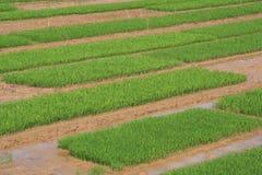 Des gisements de riz sont cultivés près de Tam Coc (Vietnam) Photos libres de droits