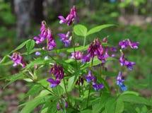 des Grasgartenblumenblattblütenrosas der Tupfenjahreszeit blühendes Farbsommerblumennatur der Wiese purpurrotes Grünpflanze-Schön Lizenzfreies Stockbild