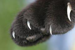 Des griffes noires de housecat sont découvertes Photographie stock