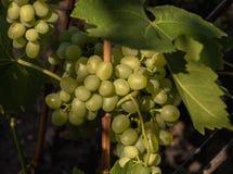Des groupes de raisins pittoresques sont allumés par lumière du soleil Vue scénique photographie stock libre de droits