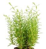 Des herbes frais de fines, romarin est isolés sur le blanc Photo libre de droits