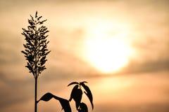 Des Hintergrund-Sonnenuntergangs des Gerstenbaums dunkle gelbe Tür heraus lizenzfreies stockfoto