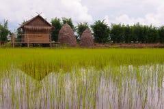 Des jeunes plantes de riz sont cultivées sur des plantations près de la maison et d'une pile de paille et des arbres verts dans u photographie stock libre de droits
