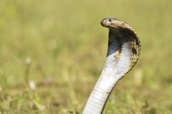 Des Königskobraschlangen-Fokus der indischen Kobras große Schlange lizenzfreies stockbild