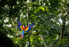 Des Keilschwanzsittich-Scharlachrot Fliegen-- Copan, Honduras Stockfotos