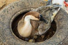 Des oeufs d'oie de mère sont hachés dans le pneu photos stock