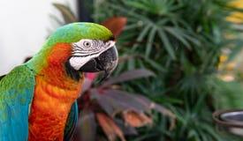 Des perroquets d'Amazone étaient étés perché sur le fer Photos stock