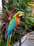 Des perroquets d'Amazone étaient étés perché sur le fer Images stock