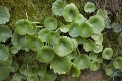 Des petites succulentes de muraille Stock Image