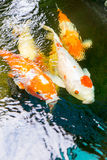 Des poissons de Koi sont élevés dans les étangs Images libres de droits