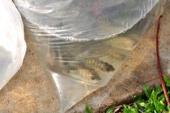 Des poissons sont maintenus dans des sachets en plastique préparant pour être libéré en rivière de Saigon pendant le jour nationa Images stock