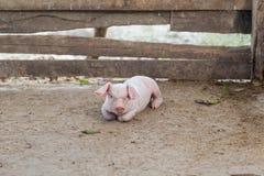Des porcelets ont été étendus pour se reposer dans une clôture en bois Image libre de droits