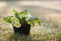 Des primevères - préparez pour le ressort et le jardinage ? Image libre de droits