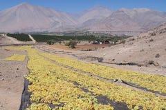 Des raisins de cuve sont séchés au soleil image libre de droits