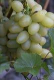 Des raisins verts sont cultivés dans le pays Images stock
