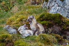 Des renards arctiques sont joués sur l'herbe verte Photographie stock