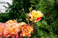 Des roses oranges sur leurs arbres dans la campagne serbe, les arbres verts peuvent être vues à l'arrière-plan Image libre de droits