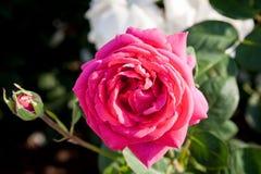 Des roses roses sur leurs arbres dans la campagne serbe, les fleurs blanches peuvent être vues à l'arrière-plan Image libre de droits