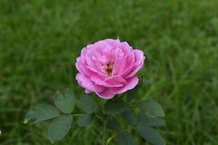 Des roses sont plantées dans le jardin devant la maison Les fleurs roses semblent belles photo libre de droits