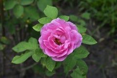 Des roses sont plantées dans le jardin devant la maison Les fleurs roses semblent belles images libres de droits
