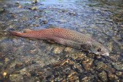 Des saumons de Danube - huchen photo libre de droits