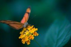 des Schmetterlinges Orange und Schwarzes allein oben aufgeworfen in der Farbe in einem Gartenabschluß stockfotografie