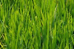 Des tiges et les transitoires de riz sont photographiées dans le detai photographie stock libre de droits