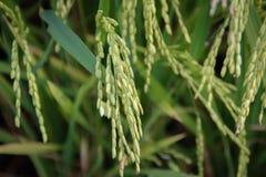 Des tiges et les transitoires de riz sont photographiées en détail images stock