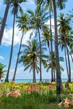Des vergers de noix de coco par la mer et les belles fleurs sont plantés photo libre de droits