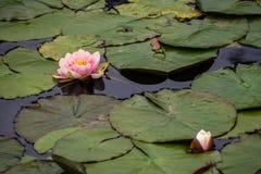 Des Wassers Blumendetail lilly in einem See lizenzfreie stockbilder