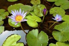 Des Wassers Hintergrund lilly Lizenzfreie Stockfotografie