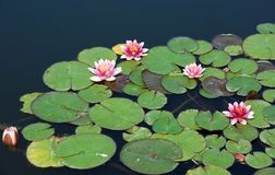 Des Wassers Hintergrund lilly Rosa Wasser lilly mit Grün verlässt im See Linkblüte Blaues Meer, Himmel u Litauische Flora Stockfoto
