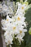 Des Weiß Blume lilly lizenzfreie stockbilder
