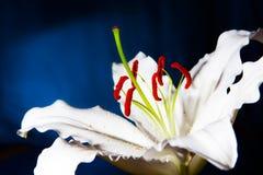 Des Weiß Makro lilly auf blauem Steigungshintergrund Lizenzfreies Stockbild