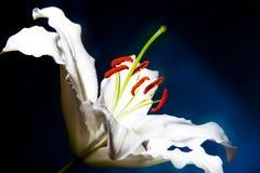 Des Weiß Makro lilly auf blauem Steigungshintergrund Stockfoto