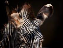 Des Zebras nahes hohes der Beschaffenheit im Detail - Stockbilder