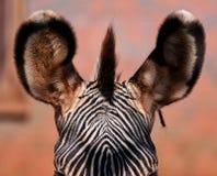 Des Zebras nahes hohes der Beschaffenheit im Detail - Lizenzfreie Stockbilder