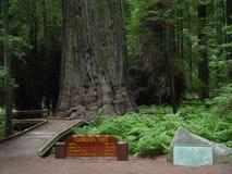 Desabe a árvore do ` s na floresta da sequoia vermelha de Califórnia Foto de Stock